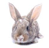 在白色背景灰色兔宝宝隔绝的开会 免版税库存照片