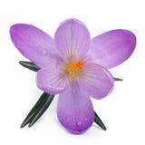 在白色背景隔绝的一朵蓝色春天番红花 免版税库存照片