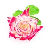 在白色背景特写镜头隔绝的桃红色玫瑰 图库摄影