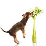 在白色背景狗花瓶隔绝的奇瓦瓦狗 库存图片