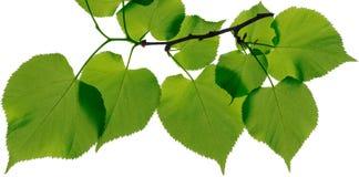 在白色背景留下菩提树 免版税图库摄影