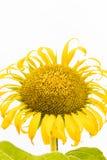 在白色背景的一个大美丽的向日葵 免版税库存图片
