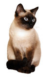 在白色背景的一只暹罗猫 免版税库存照片