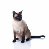 在白色背景的一只美丽的暹罗猫 库存图片
