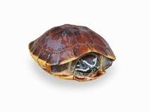 在白色背景的一只草龟 库存照片