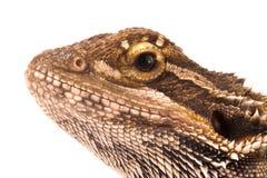 在白色背景的一只蜥蜴 库存图片