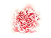 在白色背景的一支桃红色被隔绝的康乃馨 库存照片