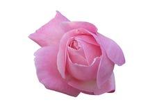 在白色背景的一朵桃红色玫瑰花蕾花 库存照片