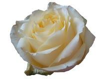 在白色背景的一朵精美和美丽的花奶油玫瑰 免版税图库摄影