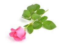 在白色背景的一朵美丽的桃红色玫瑰 免版税图库摄影