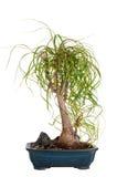 一棵绿色盆景树 库存图片