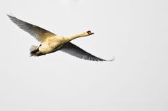 在白色背景的疣鼻天鹅飞行 免版税库存照片