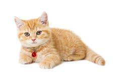 在白色背景的一点姜英国shorthair猫 免版税库存照片