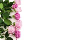 在白色背景的七朵玫瑰 免版税图库摄影