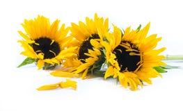 在白色背景的三个美丽的向日葵 库存图片