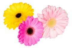 在白色背景的三朵不同大丁草花 库存图片