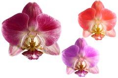 在白色背景的三朵兰花花 免版税库存图片