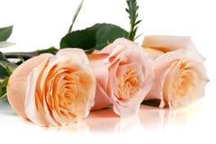 在白色背景的三朵新鲜的米黄玫瑰 图库摄影