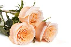 在白色背景的三朵新鲜的米黄玫瑰 免版税库存照片