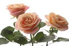 在白色背景的三朵桃子玫瑰 库存图片