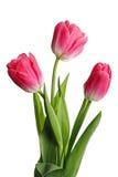 三朵桃红色花 图库摄影