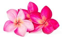 在白色背景的三朵桃红色赤素馨花花 免版税图库摄影