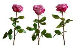 在白色背景的三朵淡紫色玫瑰 库存照片