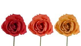在白色背景的三朵玫瑰 免版税图库摄影