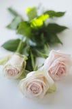 在白色背景的三朵白玫瑰 免版税库存照片