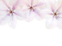 在白色背景的三朵铁线莲属花 免版税库存照片
