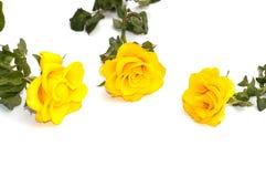 在白色背景的三朵黄色玫瑰 免版税库存图片