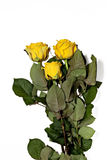 在白色背景的三朵黄色玫瑰 免版税库存照片