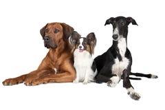 在白色背景的三条狗 库存照片