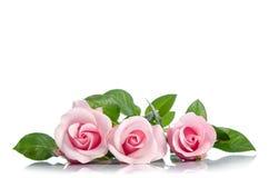 在白色背景的三桃红色玫瑰 免版税图库摄影