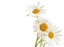 在白色背景的三棵春黄菊 春黄菊花束 库存照片