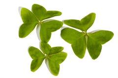 在白色背景的三棵绿色叶子三叶草 免版税图库摄影