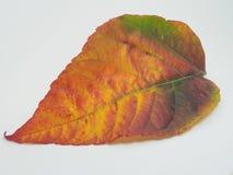 在白色背景的下落的五颜六色的秋天叶子 黄色,绿色, 图库摄影