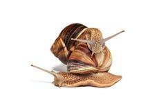 在白色背景的两三只蜗牛 免版税库存照片
