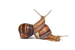在白色背景的两三只蜗牛 免版税库存图片