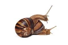 在白色背景的两三只蜗牛 库存照片