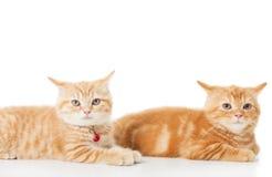 在白色背景的两只一点姜英国shorthair猫 免版税库存照片