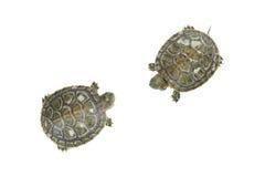 在白色背景的两只乌龟 免版税库存图片