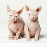 在白色背景的两只小猫 免版税图库摄影