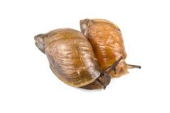 在白色背景的两只蜗牛 库存图片