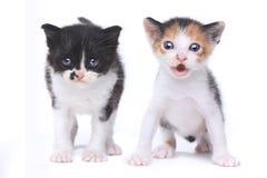 在白色背景的两只逗人喜爱的小小猫 免版税库存照片