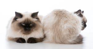 在白色背景的两只ragdoll猫 免版税图库摄影