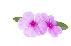 在白色背景的两朵淡粉红的花 库存图片