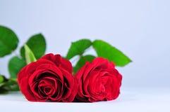 在白色背景的两朵玫瑰 免版税库存照片