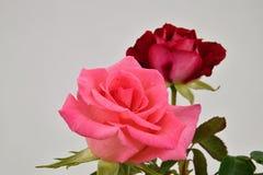 在白色背景的两朵玫瑰 库存照片
