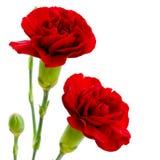 在白色背景的两朵红色康乃馨花 库存图片